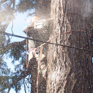 1. Domestic Tree Surgery Aboriculture Services - Dismantling Large Redwood using Chainsaw