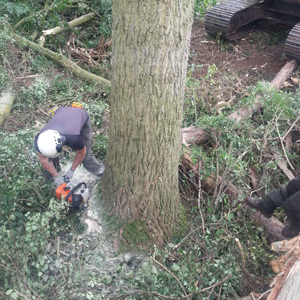 4. Why Choose TTL - Felling Poplar for Timber Production