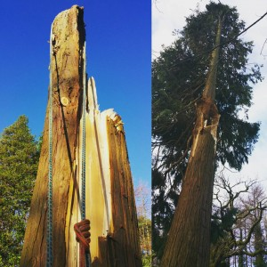Storm damaged Cypress Tree