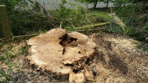 The stump showing the rotten area