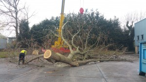 The first section of tree is lowered to the floor